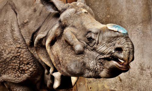 Braconnage et commerce (illégal) de l'ivoire
