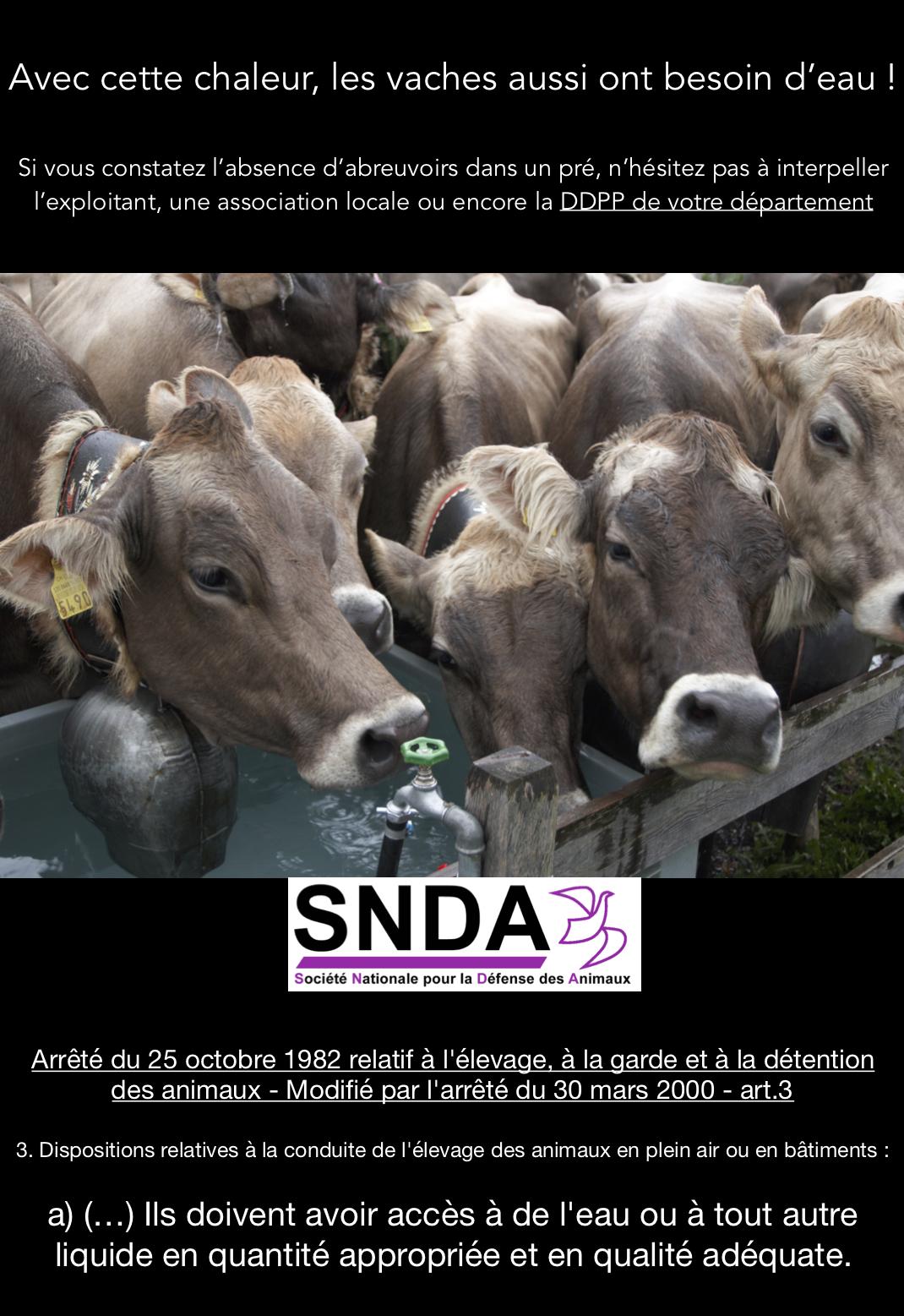 Avec cette chaleur, les vaches aussi ont besoin d'eau !