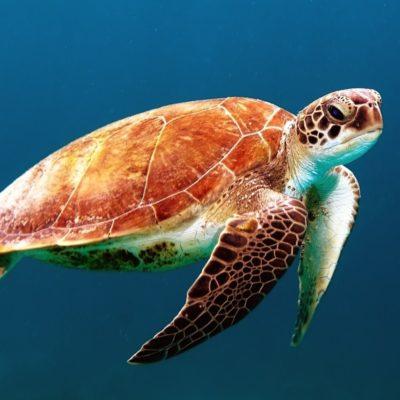Naissance exceptionnelle de bébés tortues