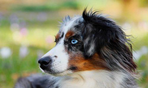 Le berger australien, un chien à la mode